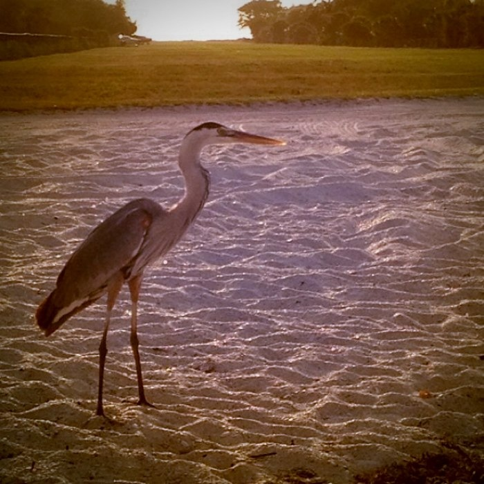 vintage great white heron photograph, vintage florida bird photo