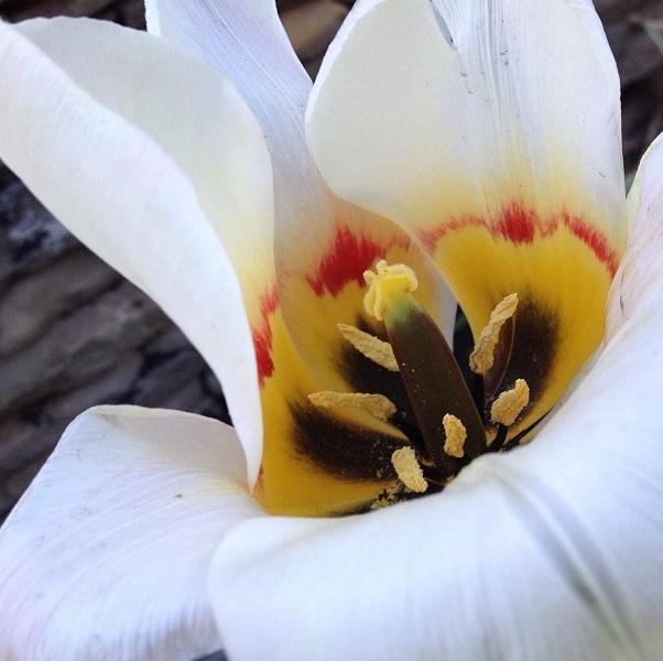 tulip photo, tulip photograph